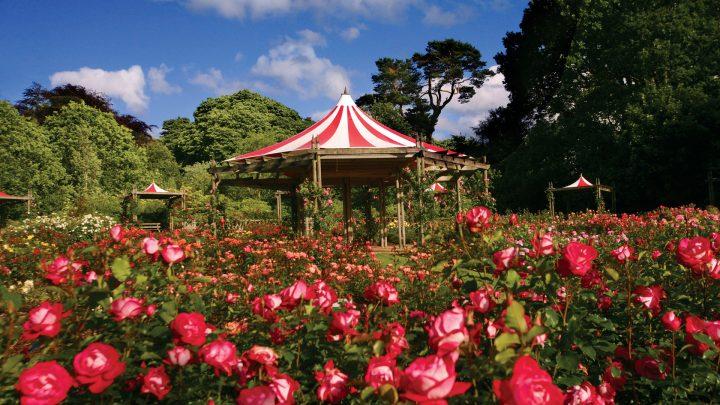 Rose Week in Dixon Park