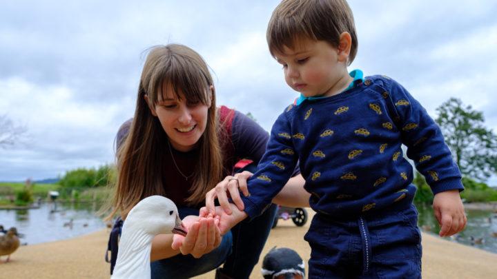 castle espie boy feeds a goose